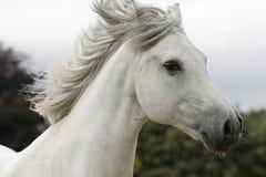 White stallion Stock Photos