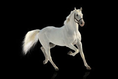 White stallion Royalty Free Stock Images