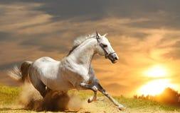 White stallion. In dust. sunset Royalty Free Stock Photo