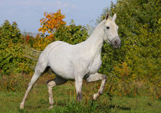 White stallion Stock Images