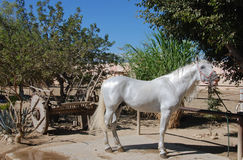 White stallion. Sniffing a mare royalty free stock image
