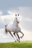 White stallion Royalty Free Stock Photography