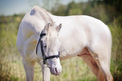 White stallion royalty free stock photos
