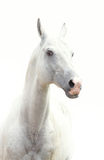 White stallion Stock Photography