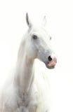 White stallion Stock Photography
