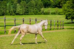 White stallion of Akhal Teke horse galloping. Young aristocratic white stallion of Akhal Teke horse breed with blue eyes galloping in a paddock, wooden poles stock photos