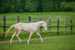 White stallion of Akhal Teke horse in a pasture. Young aristocratic white stallion of Akhal Teke horse breed with blue eyes walking in a paddock, wooden poles royalty free stock photo