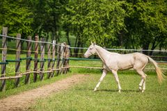 White stallion of Akhal Teke horse in a pasture. Young white stallion of Akhal Teke horse breed from Turkmenistan, walking in a paddock, wooden poles, fence in stock photography