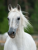White stallion. Beautiful white arabian stallion fron view Royalty Free Stock Images