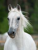 White stallion Royalty Free Stock Images