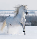 White stallion galloping. On snow field Royalty Free Stock Photo