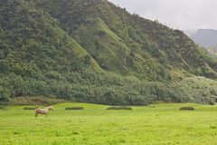 White Stallion in green field Royalty Free Stock Photo