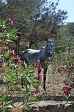 White stallion horse Stock Images