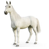 White stallion horse on an isolated white background. Royalty Free Stock Photos