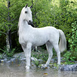 White stallion horse posing with a lake and woods background. Royalty Free Stock Image