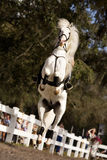 White Stallion Jumping Stock Images