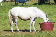 White Stallion Lipica Royalty Free Stock Photos
