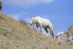 White stallion with long mane Royalty Free Stock Photo