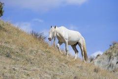 White stallion with long mane. White stallion with extra long mane walking along canyon top Royalty Free Stock Photo