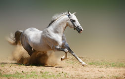 White stallion in motion Stock Image