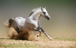 White stallion in motion. Silver grey stallion in dust Stock Image