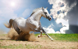 White stallion moving Stock Photo