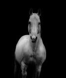 White stallion Royalty Free Stock Photos
