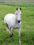 White stallion in pasture 2 Royalty Free Stock Images