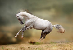White stallion playing Royalty Free Stock Photo