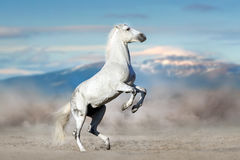 White stallion rearing up. In desert dust against mountain landscape Royalty Free Stock Images