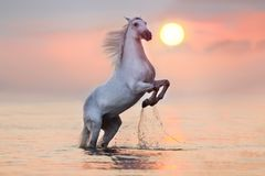 Horse rearing up in water. White stallion rearing up with splash in water at sunrise Stock Photography