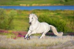 White stallion run forward Stock Images