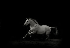 White stallion running gallop Stock Photography
