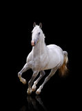 White stallion runs. Over a black Stock Photography