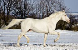 White stallion runs in the snow field Royalty Free Stock Photography