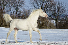 White stallion runs in the snow field Royalty Free Stock Image