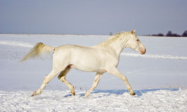 White stallion runs in the snow field Royalty Free Stock Images