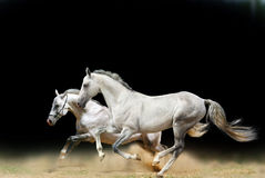 White stallions isolated. On black Stock Photography