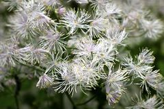 White stamens of a meadow rue royalty free stock photos