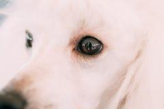White Standard Poodle Dog Close Up Portrait Stock Photo