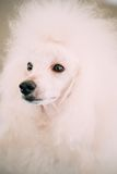 White Standard Poodle Dog Close Up Portrait Royalty Free Stock Photography
