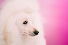 White Standard Poodle Dog Close Up Portrait Royalty Free Stock Photos