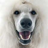White Standard Poodle Royalty Free Stock Photo