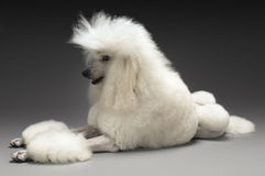 White Standard Poodle Stock Images