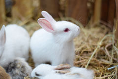 White standing baby rabbits in hay Stock Photography