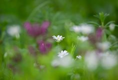 White star of Bethlehem flower in the meadow on a colorful background stock photos