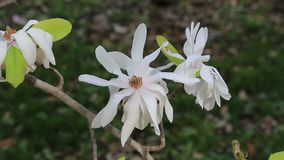 White Star Magnolia stock video