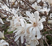 White Star Magnolia Tree in Bloom Stock Photos