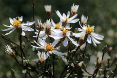 White star-shaped flowers of Aster divaricatus. Aster divaricatus flourishes rich and prolonged with white flowers. Aster divaricatus can grow in the shade and Stock Photography