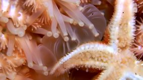 White starfish close up on black background underwater of sea. Unique amazing beautiful exotic macro video. Marine life on background of pure clear clean water stock footage